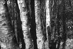Leica Ic | Elmar 3,5/50 | Kodak T-MAX 400